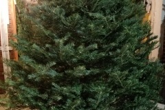 Concolor Firs