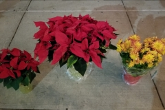 Poinsettias Mix