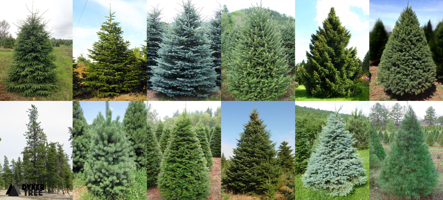 Dyker Tree Top 13 Christmas Trees